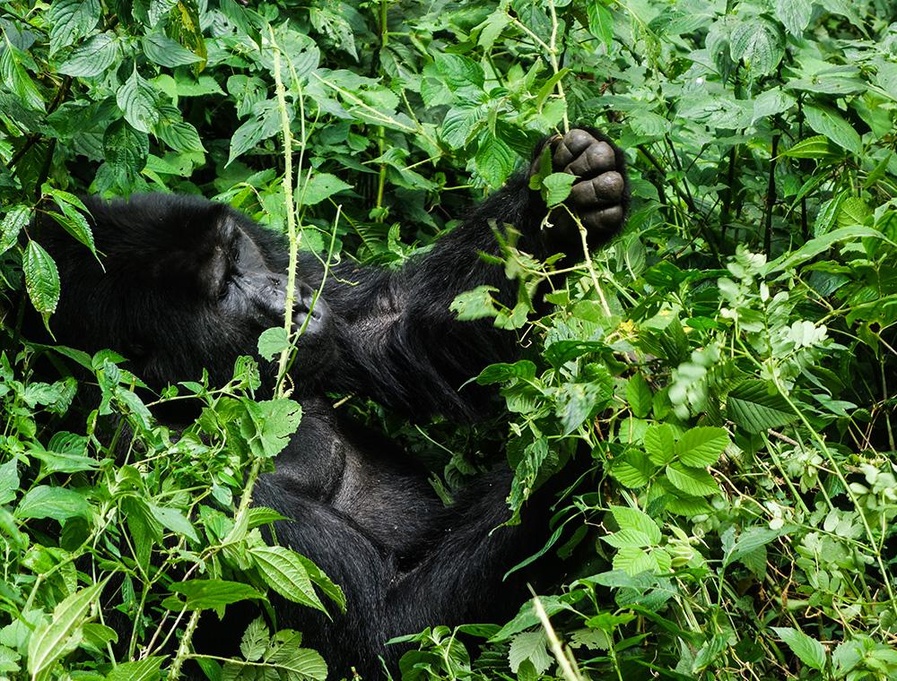 gorillas-04