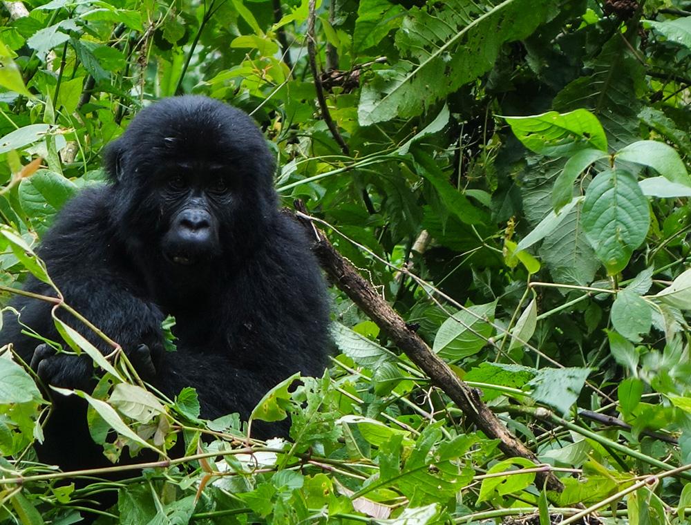 gorillas-05