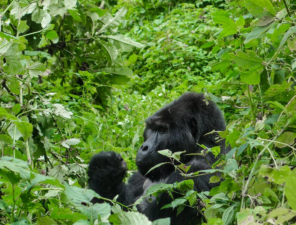gorillas-06